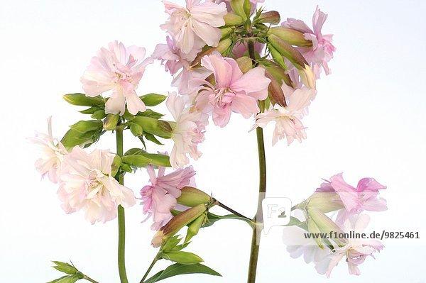 Soapwort Saponaria officinalis