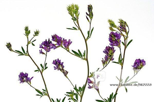 Alfalfa Medicago sativa