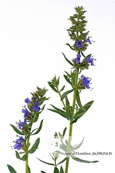 Hisopo Hyssopus officinalis