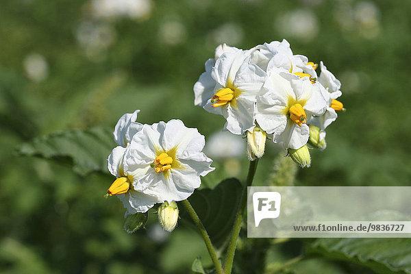 Kartoffelpflanze (Solanum tuberosum)  blühend  Thüringen  Deutschland  Europa