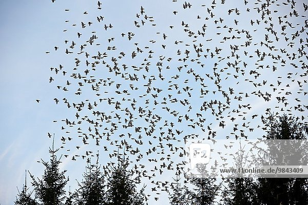 Europa Winter Lebensmittel europäisch geselliges Beisammensein Baum suchen rauh groß großes großer große großen Bewegung Buche Buchen Fink Dormitorium Deutschland