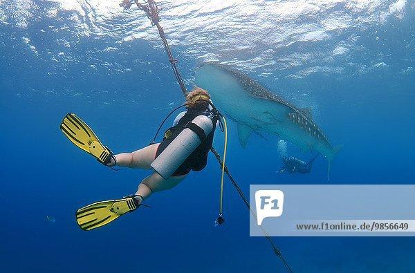 Whale shark (Rhincodon typus) Bohol Sea  Oslob  Cebu  Philippines  Southeast Asia.