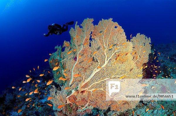 Nationalpark sehen lila Westindische Inseln Afrika Ägypten Gorgonie Rotes Meer Weichheit