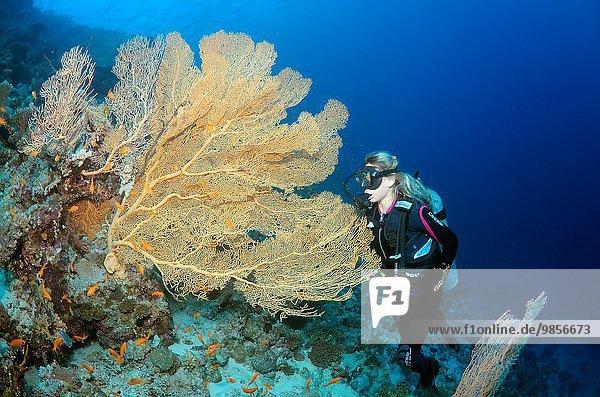 sehen lila Westindische Inseln Afrika Ägypten Gorgonie Rotes Meer
