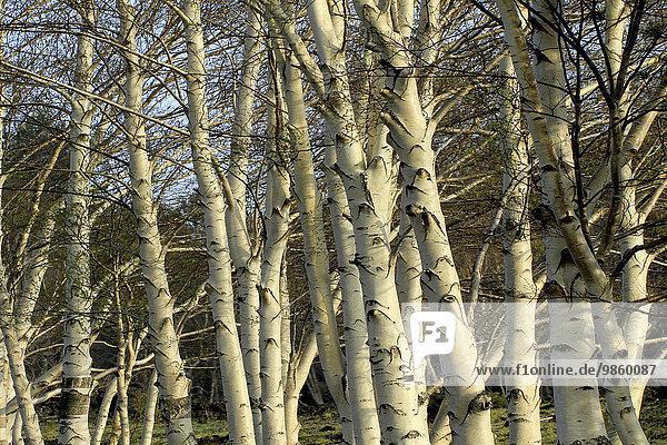 Etna Birch trees (Betula aetnensis)  endemic  Sicily  Italy  Europe