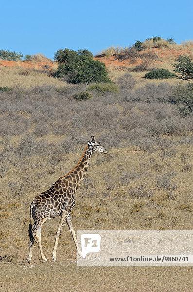 Giraffe (Giraffa camelopardalis)  Männchen geht im trockenen Gras  Kgalagadi-Transfrontier-Nationalpark  Provinz Nordkap  Südafrika