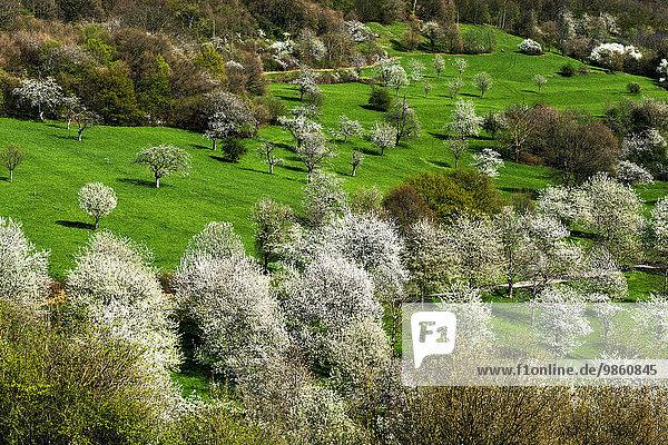 Kirschblüte auf den Berghauser Matten  Ebringen  Markgräflerland  Schwarzwald  Baden-Württemberg  Deutschland  Europa