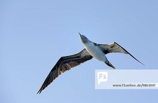 Blaufußtölpel (Sula nebouxii)  Punta Moreno  Insel Isabela  Galapagos-Inseln  Ecuador  Südamerika
