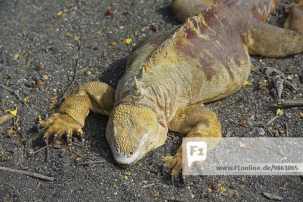 Drusenkopf  auch Galapagos-Landleguan (Conolophus subcristatus)  Urbina Bay  Insel Isabela  Galapagos-Inseln  Ecuador  Südamerika