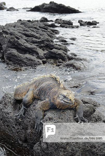 Meerechse (Amblyrhynchus cristatus)  Urbina Bay  Insel Isabela  Galapagos-Inseln  Ecuador  Südamerika