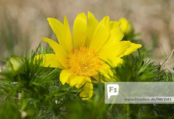 Frühlings-Adonisröschen oder Frühlings-Adonis (Adonis vernalis)  Siegendorfer Pußta  Nordburgenland  Burgenland  Österreich  Europa