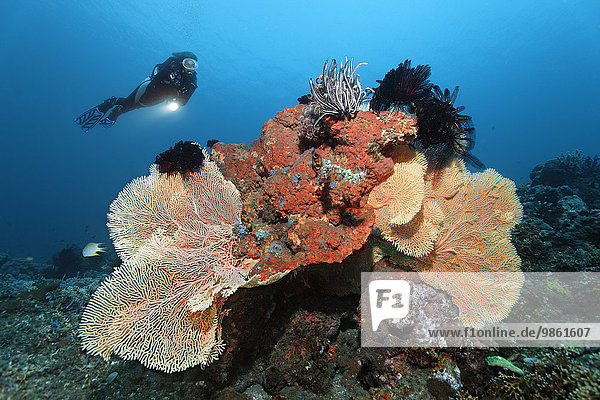 Taucher betrachtet Korallenriff mit verschiedenen Korallen  Schwämmen und Federsternen  Bali