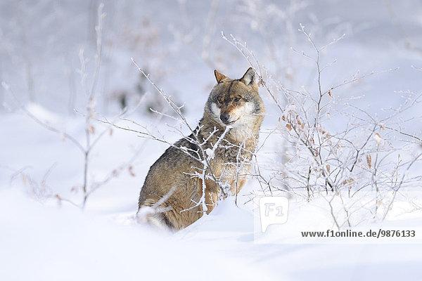 Europäischer Wolf  Bayerischer Wald  Bayern  Deutschland  Europa