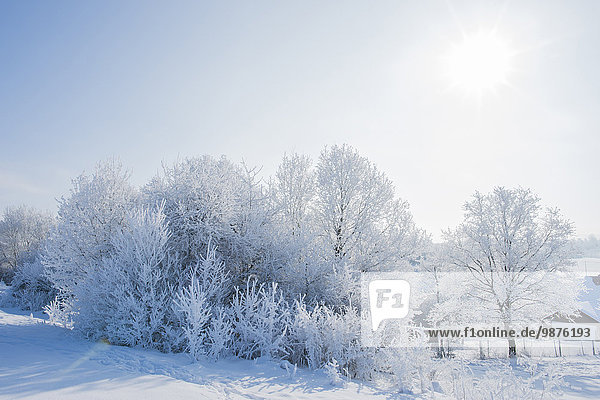 Bushes and trees in winter  Upper Palatinate  Bavaria  Germany  Europe