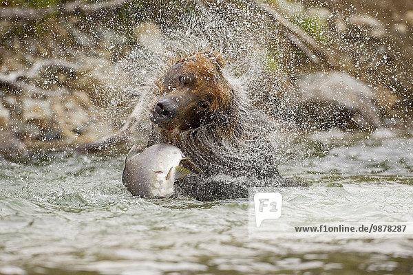 Braunbär Ursus arctos Sau Küste schütteln Lachs Alaska Bucht Katmai Nationalpark