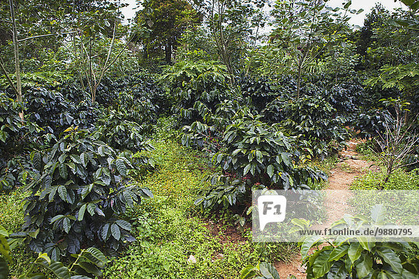Kaffee Plantage Hochebene Laos