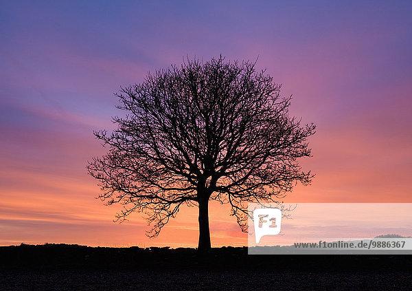 Silhouettierte nackte Esche bei Sonnenuntergang