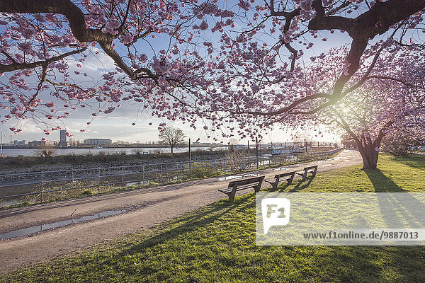 Kirschblüte im Park  Hamburg  Deutschland  Europa Kirschblüte im Park, Hamburg, Deutschland, Europa
