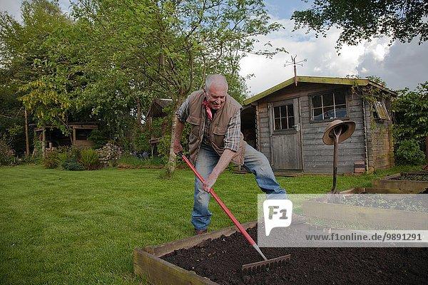 Älterer Mann  rechender Boden im Garten