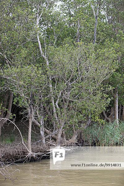 White Mangrove (Laguncularia racemosa)  in water  iSimangaliso Wetland Park  Kwazulu Natal  South Africa  Africa