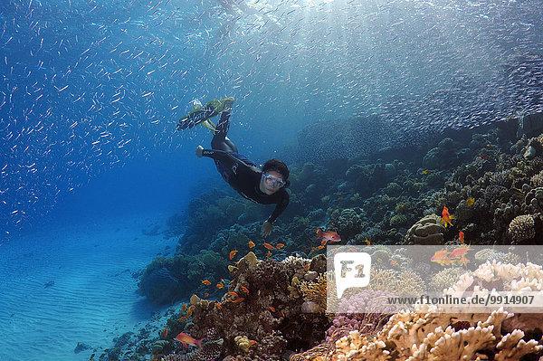 Freitaucher taucht an Korallenriff  Rotes Meer  Ägypten  Afrika
