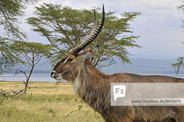 Wasserbock (Kobus ellipsiprymnus)  Männchen  Lake-Nakuru-Nationalpark  Kenia  Afrika Wasserbock (Kobus ellipsiprymnus), Männchen, Lake-Nakuru-Nationalpark, Kenia, Afrika