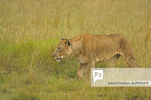 Lioness (Panthera leo) in the rain in the grasslands  Lake Nakuru National Park  Kenya  Africa