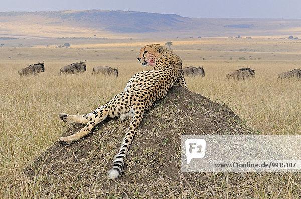 Gepard (Acinonyx jubatus) auf einem Hügel im Grasland  Masai Mara National Reserve  Kenia  Afrika