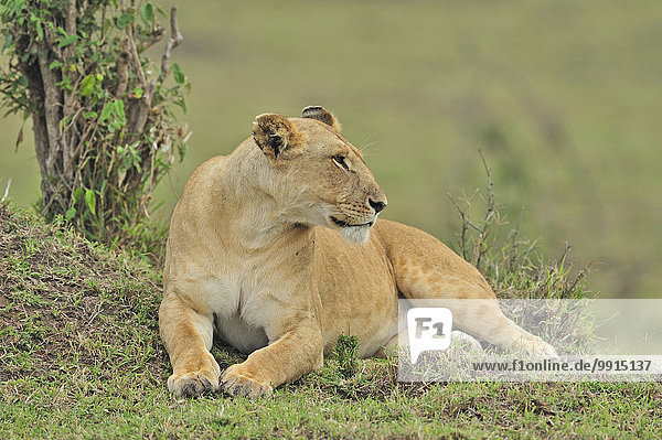 Lioness (Panthera leo)  Marsh Pride  Masai Mara National Reserve  Kenya  Africa