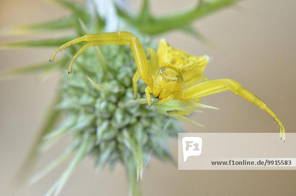 Gehöckerte Krabbenspinne (Thomisus onustus)  Gelbes Weibchen in Lauerstellung  Lykien  Türkei  Asien
