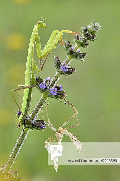 Europäische Gottesanbeterin (Mantis religiosa) auf Wiesensalbei (Salvia Pratensis) nach der Häutung mit Exuvie  Garfagnana  Toskana  Italien  Europa