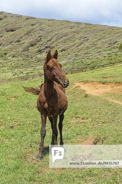 Pferd im Rano Raraku-Krater  Nationalpark Rapa Nui  Osterinsel  Chile  Südamerika