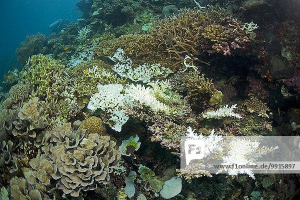 Korallenbleiche  deutlich sichtbar die weißen abgestorbenen Korallen  Geweihkoralle (Acropora sp.)  Sabang  Puerto Galera  Midoro  Philippinen  Asien