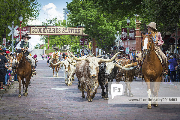Viehtrieb Texas Longhorn Rinder mit Cowboys und Cowgirl  Stockyards  Fort Worth  Texas  USA  Nordamerika