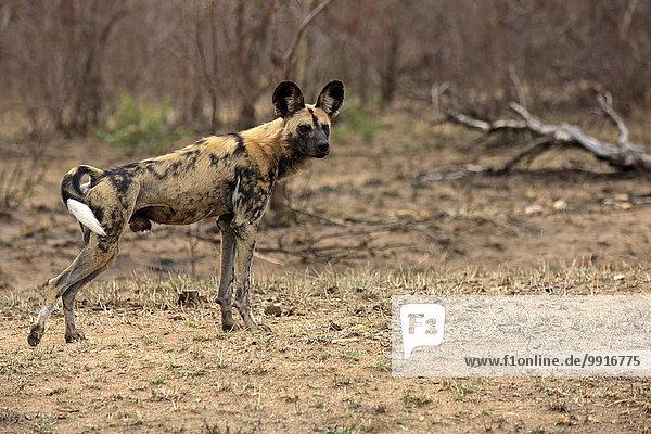 Afrikanischer Wildhund (Lycaon pictus)  adult  wachsam  Krüger-Nationalpark  Südafrika