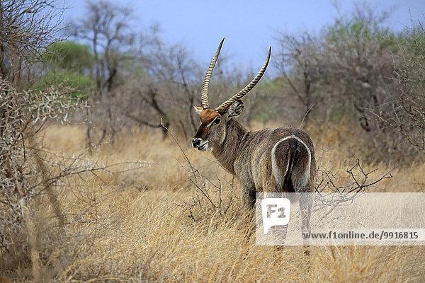 Ellipsen-Wasserbock (Kobus ellipsiprymnus)  adult  männlich  Krüger-Nationalpark  Südafrika