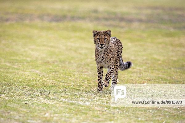 Gepard (Acinonyx jubatus)  sudadult  pirschend  Westkap  Südafrika