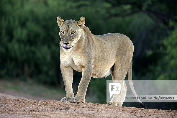 Lioness (Panthera leo)  Tswalu Game Reserve  Kalahari Desert  North Cape  South Africa  Africa