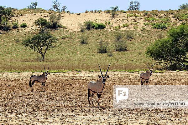 Südafrikanische Spießböcke (Oryx gazella)  adult  Tswalu Game Reserve  Kalahari  Nordkap  Südafrika