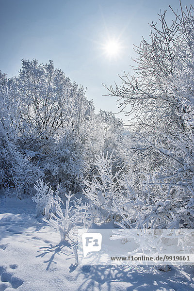 Snowy Landscape of Bushes and Trees on Sunny Day in Winter  Upper Palatinate  Bavaria  Germany