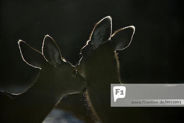 Maultierhirsch Odocoileus hemionus Tier Gegenlicht Kanada Hirsch