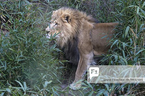 Löwe Panthera leo Tier Männliches Tier Männliche Tiere männlich