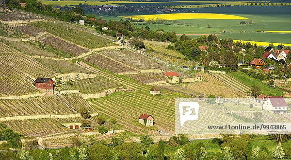 Vineyards  near Freyburg  Burgenlandkreis district  Saxony-Anhalt  Germany  Europe
