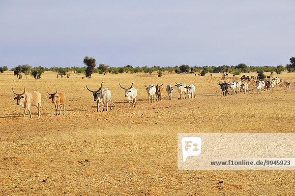 Rinderherde zieht über die Steppe  bei Aleg  Region Brakna  Mauretanien  Afrika
