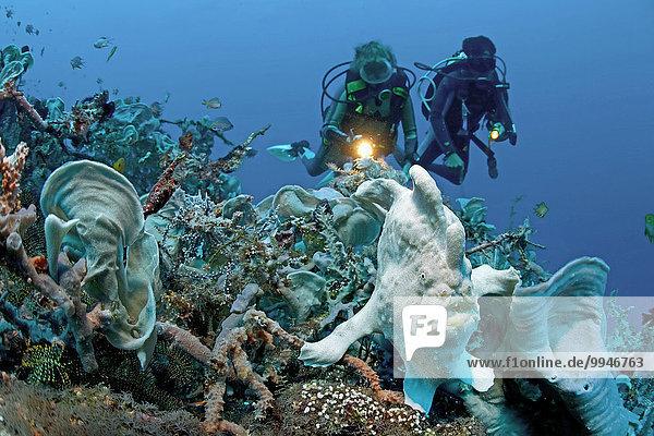 Taucher und Großer Anglerfisch (Antennarius commersoni)  Panglao  Bohol  Visayas  Indo-Pazifischer Ozean  Philippinen  Asien