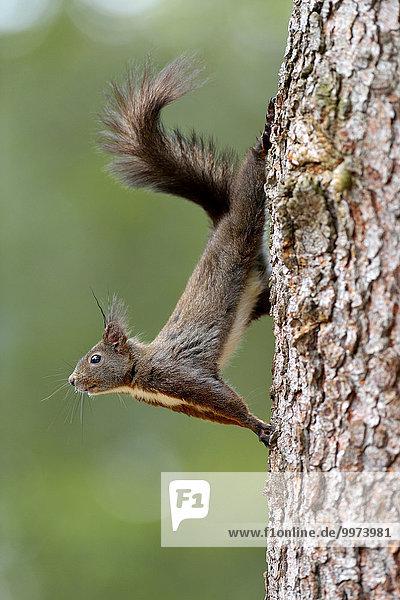 Eichhörnchen (Sciurus vulgaris) klettert an Baumstamm  Graubünden  Schweiz  Europa