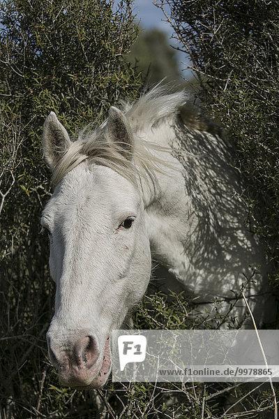 Wild horse in the Camargue  Saintes-Maries-de-la-Mer  Provence-Alpes-Côte d'Azur  France  Europe