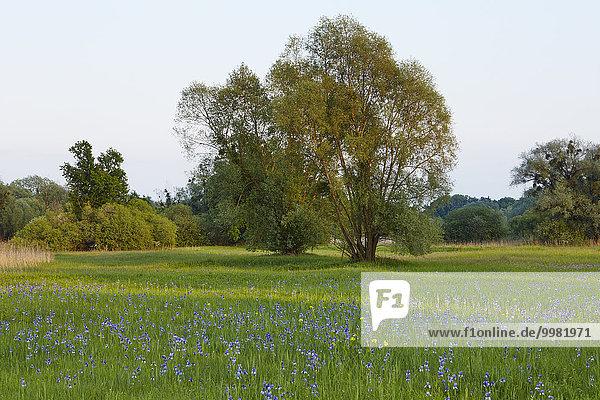 Sibirische Schwertlilien (Iris sibirica) in Blüte  Eriskircher Ried  Eriskirch  Bayern  Deutschland  Europa