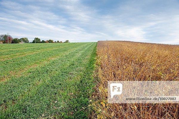 Sojabohne Vereinigte Staaten von Amerika USA zeigen Nutzpflanze Feld 1 Gras Seitenansicht Maryland