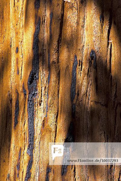 Rinde  Küstenmammutbaum (Sequoia sempervirens)  Sequoia-Nationalpark  Kalifornien  USA  Nordamerika